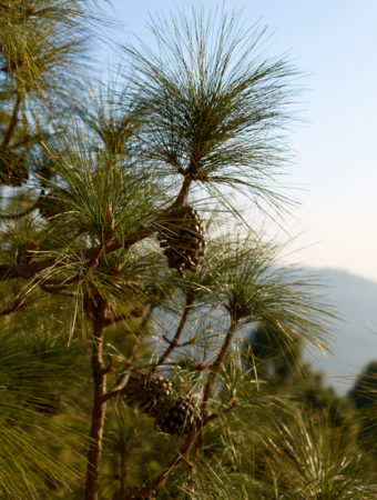 A pine cone on a tree with mountains in the background.