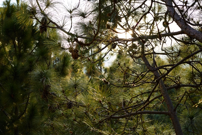 Baby pine cones hanging from the thin branches of a tree with sunlight streaming through. A picture taken on my Mommy Break.
